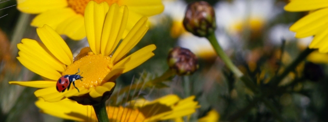 Ladybird Coccinellidae (John Hinde)