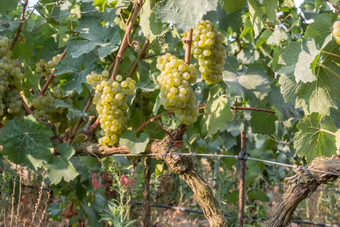 Malvasía grape Vinyes Son Alegre