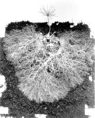 complete_mycorrhiza_1