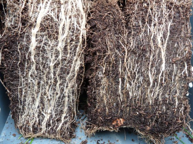 Mycorrhizae fungi
