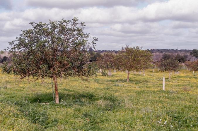natural carob field