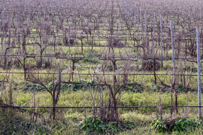 vines Son Alegre Mallorca