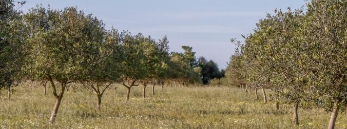 olive trees Son Alegre Santanyí Mallorca 2