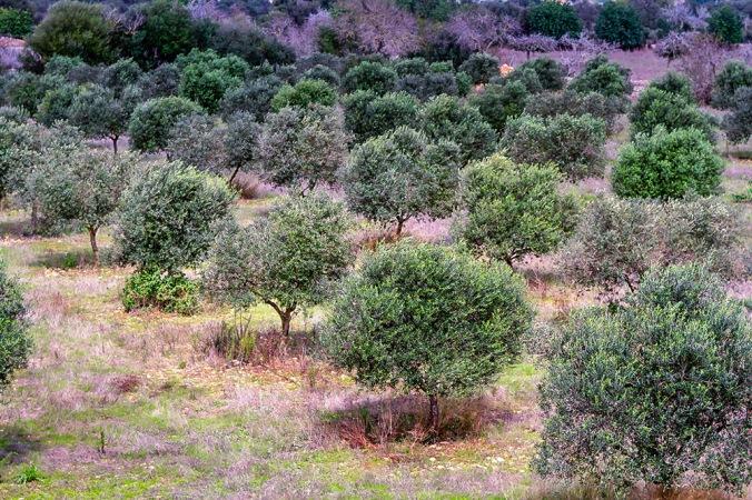olive trees Son Alegre Santanyí Mallorca 3