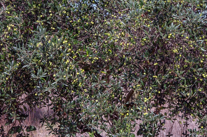 olive trees Son Alegre Santanyí Mallorca 4