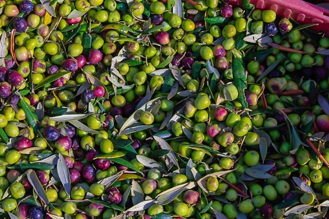 olives Son Alegre Santanyí Mallorca_