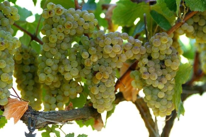 Son Alegre - Chardonnay_