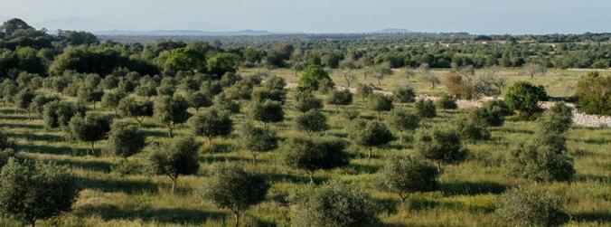 800x298_olive-trees