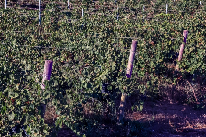 son-alegre-grape-harvest-4